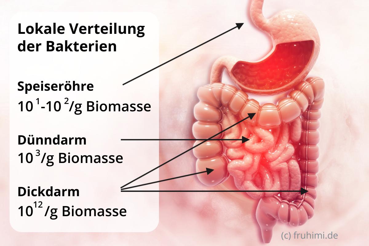 Bakterienverteilung Speiseröhre, Dünndarm, Dickdarm